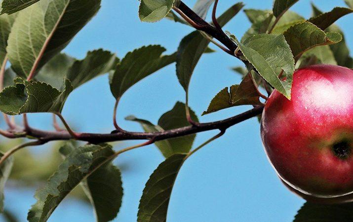 bauSpezi Ratgeber Obstbaum pflanzen