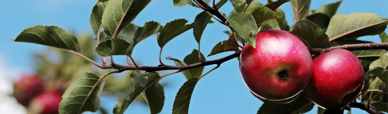 Obstbäume pflanzen Ratgeber